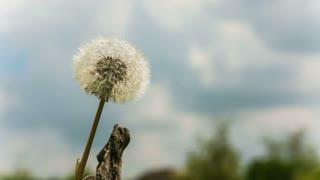 Dandelion seeds in the morning sunlight