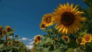 Girl running through sunflower rows - slo mo