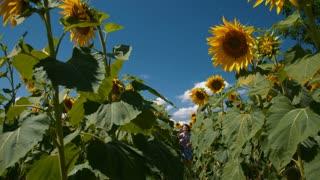Girl runs through a sunflower field - slo mo