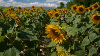 Girls running in a sunflower field - slo mo