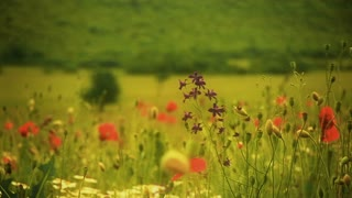Hand of a man, as seen from behind, walking alone through poppy field. Close Up.