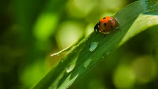 Ladybird on grass with morning dew