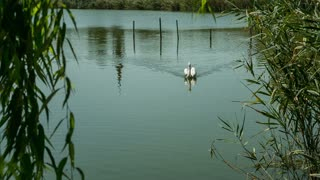 Lake with swan, pelican and wild ducks