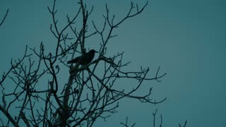 Raven flying from a dead tree at night - slo mo