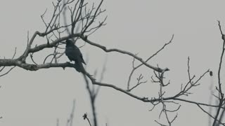 Raven on a dead tree - slo mo
