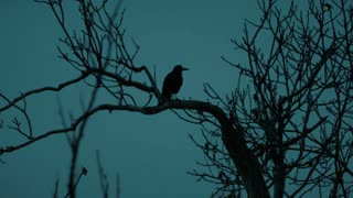 Raven resting and flying from a dead tree at night - slo mo
