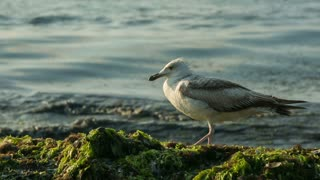 Seagull on the shore - ECU