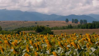 Sunflower field and mountains - pan shot