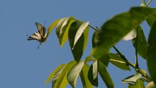Swallowtail butterfly resting on a leaf - ECU