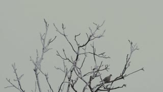 Tree branches with a dove and crow