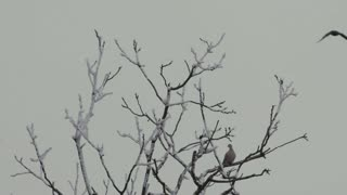 Tree branches with dove and crows - slo mo