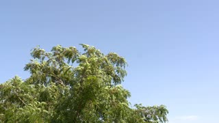 Tree in the wind and blue sky