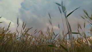 Wheat field and sky - pan shot