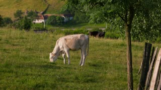 White calf and black cattle grazing near the village