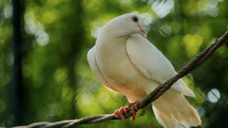 White dove perching on a the rope - ECU