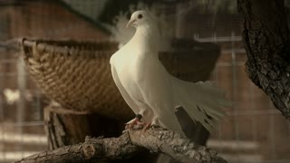 White pigeon in barn - slo mo