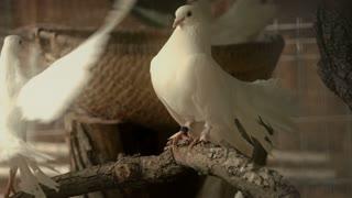 White pigeons in barn