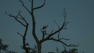 White stork on a dry branch at night