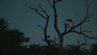 White stork on a dry branch prepering himself for night
