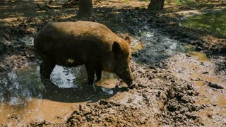 Wild boar in the swamp - CU
