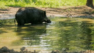 Wild boar in the swamp - MS