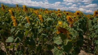 Young girl runs through a sunflower field - slo mo