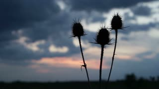 Wild flower or thistle moving in the breeze at sunset.