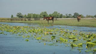 Wild horses on the edge of a channel of water. Danube Delta, Romania