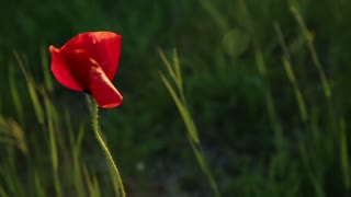 Wild poppy in sun beams. Three clips.