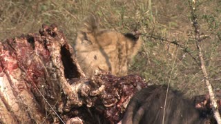 A young adolescent Lion (Panthera leo) eating, biting, chewing at a Wildebeest, Gnu carcass, fresh kill, in the African bushveld, dry winter grass. Lion Behaviour, South Africa