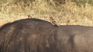 4 red-billed ox-peckers (Buphagus erythrorhynchus) standing on the back of an African buffalo or Cape buffalo (Syncerus caffer) in Hoedspruit, South Africa