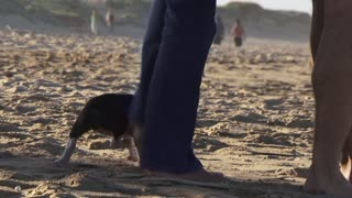 Boston Terrier puppy running around peoples feet walking on the beach, Eastern Cape South Africa