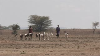 Traditional Kenyan goat herders, shepherds walking with their goats in a heat wave, dry bush, drought, Kenya, Africa