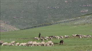 Traditional Lesotho Shepard tending to sheep in Lesotho mountains, green grass, livestock, Basotho, Africa