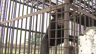 Two Common Chimpanzees (Pan troglodytes), also known as Robust Chimpanzees, Chimps in a cage reaching for the camera at the Lubumbashi Zoo, Democratic Republic of Congo, DRC, Africa