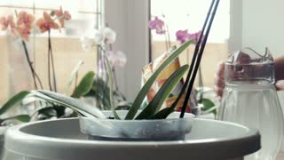 A woman pours water on orchid