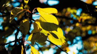 Autumn. Yellow leaves on a tree