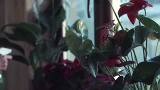 Close shot of hands of young woman spraying flowers standing on a window sill with water, close 4K shot