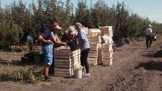 Ukraine, Zaporozhye - SEPTEMBER 10, 2015: People harvest of apples