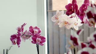 Woman waters, sprays orchids at a window