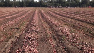Zaporozhye, Rozdol/Ukraine - September 10, 2015: People harvest onions on the field