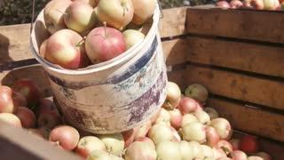Zaporozhye, Rozdol/Ukraine - September 10, 2015:  Workers harvest of apples
