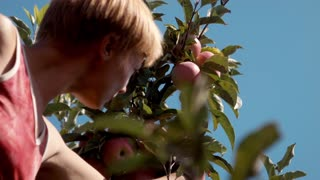 ZAPOROZHYE, UKRAINE - SEPTEMBER 10, 2015: Workers gather apples in the field of farm
