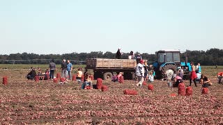 ZAPOROZHYE, UKRAINE - SEPTEMBER 10, 2015: Workers gather onions in the field of farm