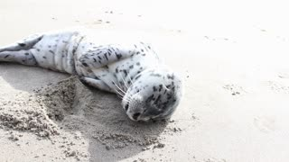 Oregon Baby Seal