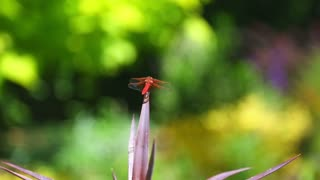 Red Dragon Fly Video