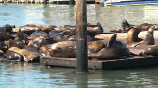 A busy crowd of Sea lions enjoying the morning sunshine at Pier 39