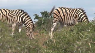 Herd of zebras grazing on the savanna