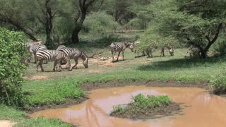 Herd of zebras grazing by a watering hole