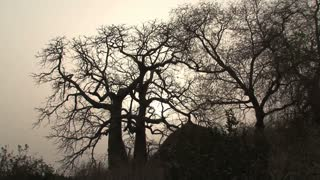 Baobab tree silhouette in Senegal